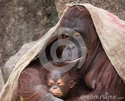 Orangutan - Mother and Baby  Proud