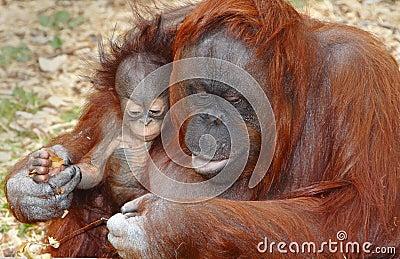 Orangutan Orang Utan