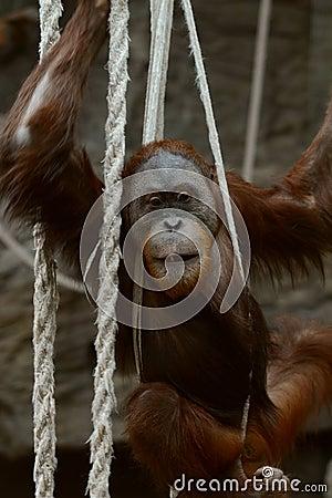 Orangutan in ropes