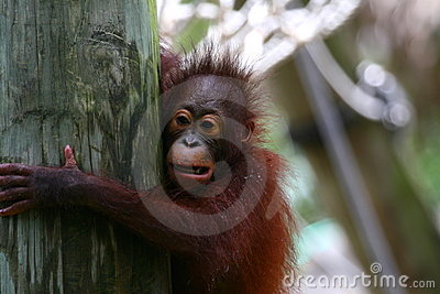 Orangutans offspring