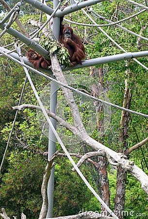 Orangutan in San Diego Zoo