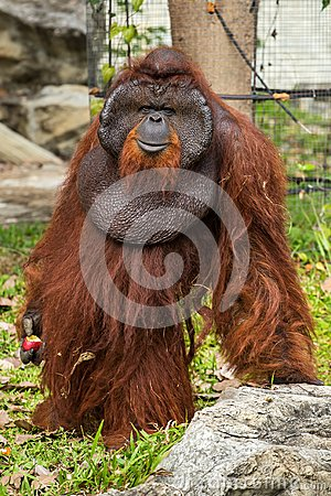 Orangutan with the signature developed cheek