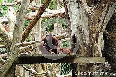 Orangutan in Singapore Zoo