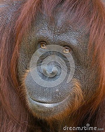 Orangutan - Smiling Beauty