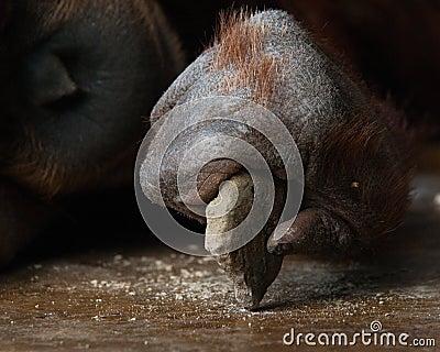 Orangutan - Tool Maker