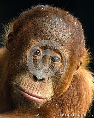 Orangutan - Young Malu