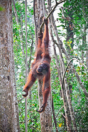 Orangutang in action