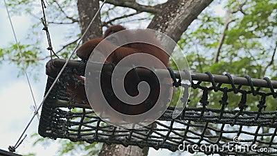 Orangutang som sätta sig på netto inställt över jordning lager videofilmer