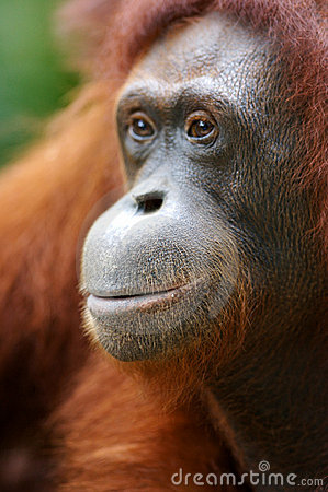Free Orangutans Royalty Free Stock Photo - 3746815