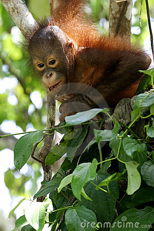 Free Orangutans Royalty Free Stock Photography - 7178927