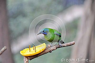 Oranje-doen zwellen Leafbird die sinaasappel eet
