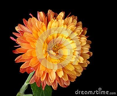Oranje Geïsoleerdel Mum