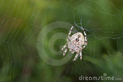 Orb Spider on Web Against Lush Green Foliage