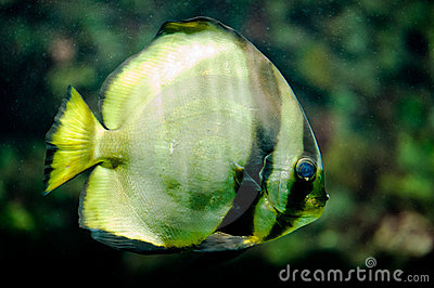 Orbicular Batfish