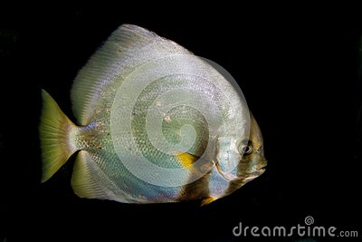 Orbicular Batfish (Platax orbicularis)