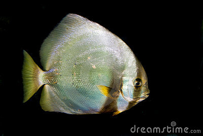 Orbicular Batfish (Platax orbicularis)