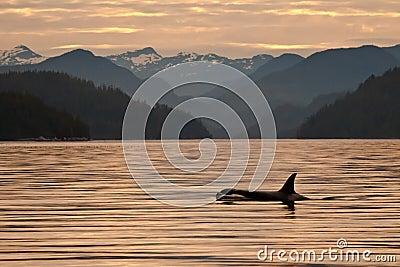 Orca at Dawn