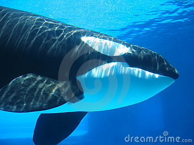 Orca (killer whale) swimming underwater