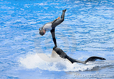 Orca stunt act Editorial Stock Photo