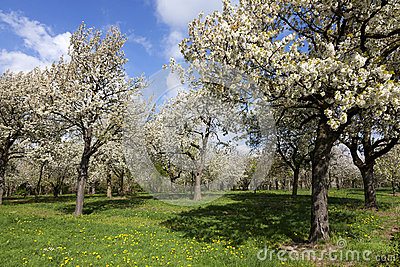 Orchard with cherry trees in blossom, Haspengouw, Belgium Stock Photo