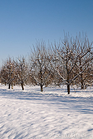 Orchard in december