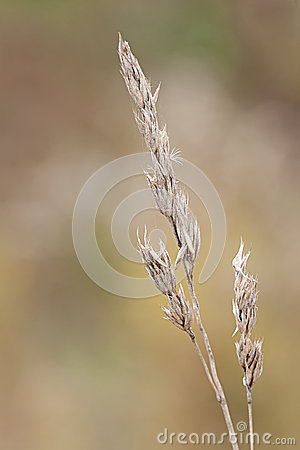 Free Orchard Grass Royalty Free Stock Photos - 36315458