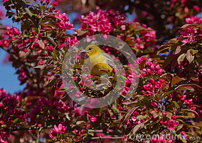 Orchard oriole with pink blossoms