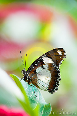 Free Orchard Swallowtail Butterfly Royalty Free Stock Photos - 9626588