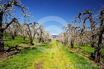 Orchard trees and mount adamson