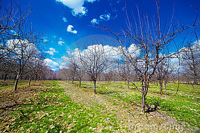 Orchard of young apple trees
