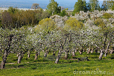Orchards in spring