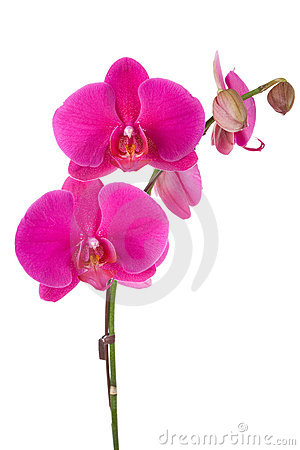 Free Orchid Stock Image - 11172051