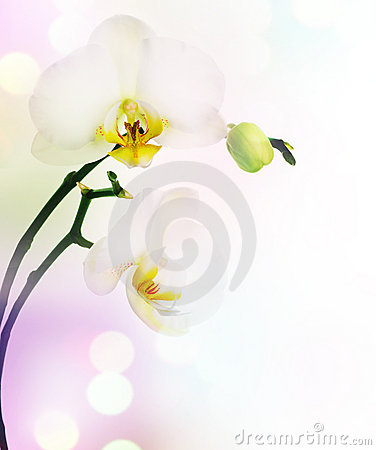 Free Orchid Royalty Free Stock Photography - 12831807