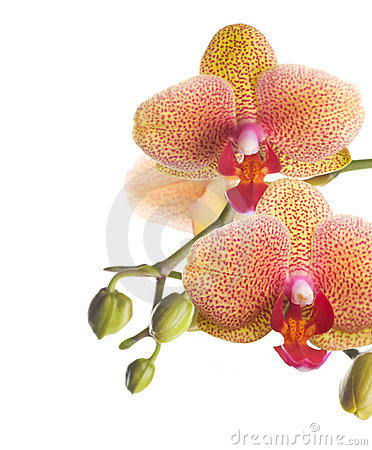 Free Orchid Stock Photos - 12831813