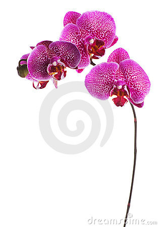 Free Orchid Royalty Free Stock Photos - 12879938