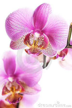 Free Orchid Royalty Free Stock Photos - 13047868