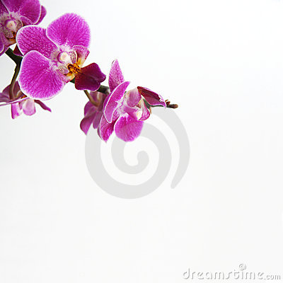 Free Orchid Stock Images - 13300634
