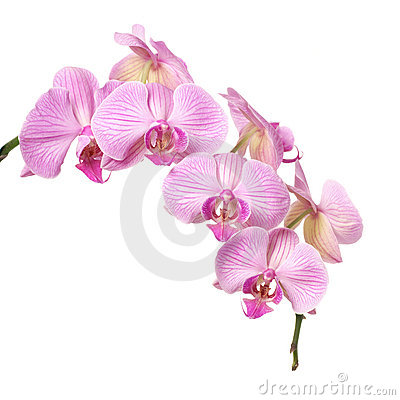Free Orchid Stock Images - 4265494