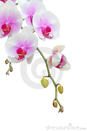 Free Orchid Royalty Free Stock Photography - 4615567