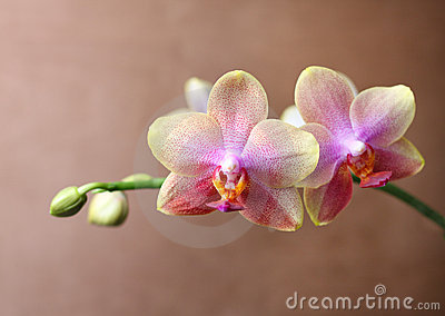 Orchid blossom detail