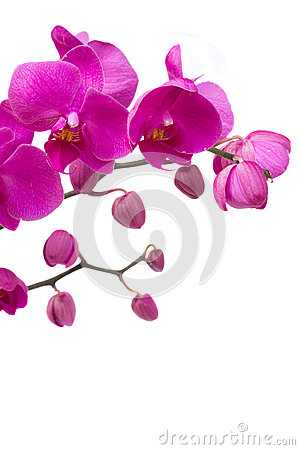Free Orchid Branch Royalty Free Stock Images - 26156169