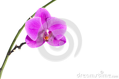Orchid branch with a pink flower, isolated