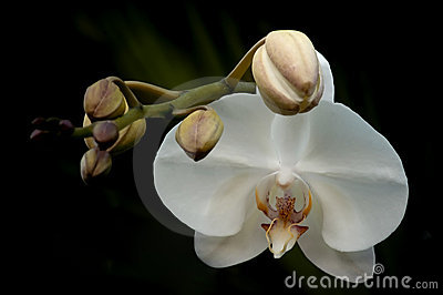 Orchid With Buds