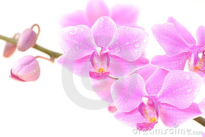 Orchid close-up on white background