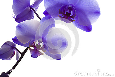 Orchid Closeup on White Background