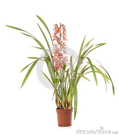 Orchid cymbidium flower