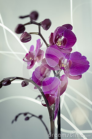 Orchid Firefly
