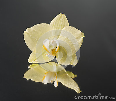 Orchid flower over black