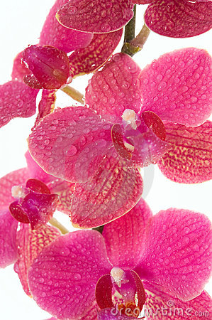 Free Orchid Flowers Royalty Free Stock Photos - 14015408