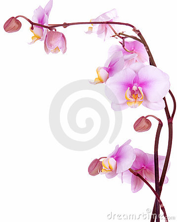 Free Orchid Flowers Stock Photo - 2465070